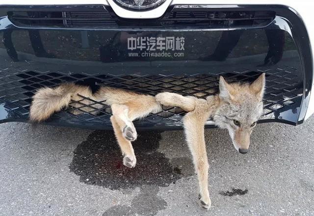 美女与野兽,女司机与狼同车60里浑然不知